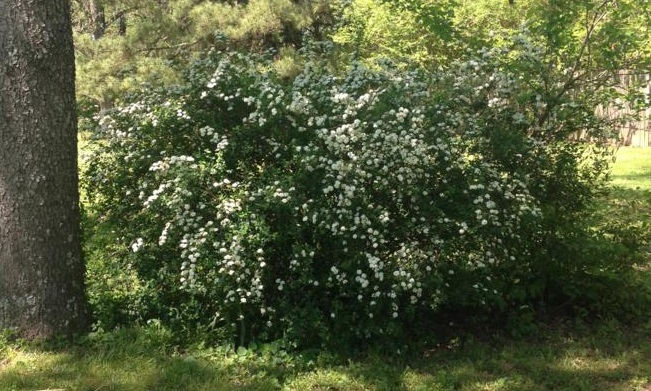 Spring - Bridal-Wreath Spiraea