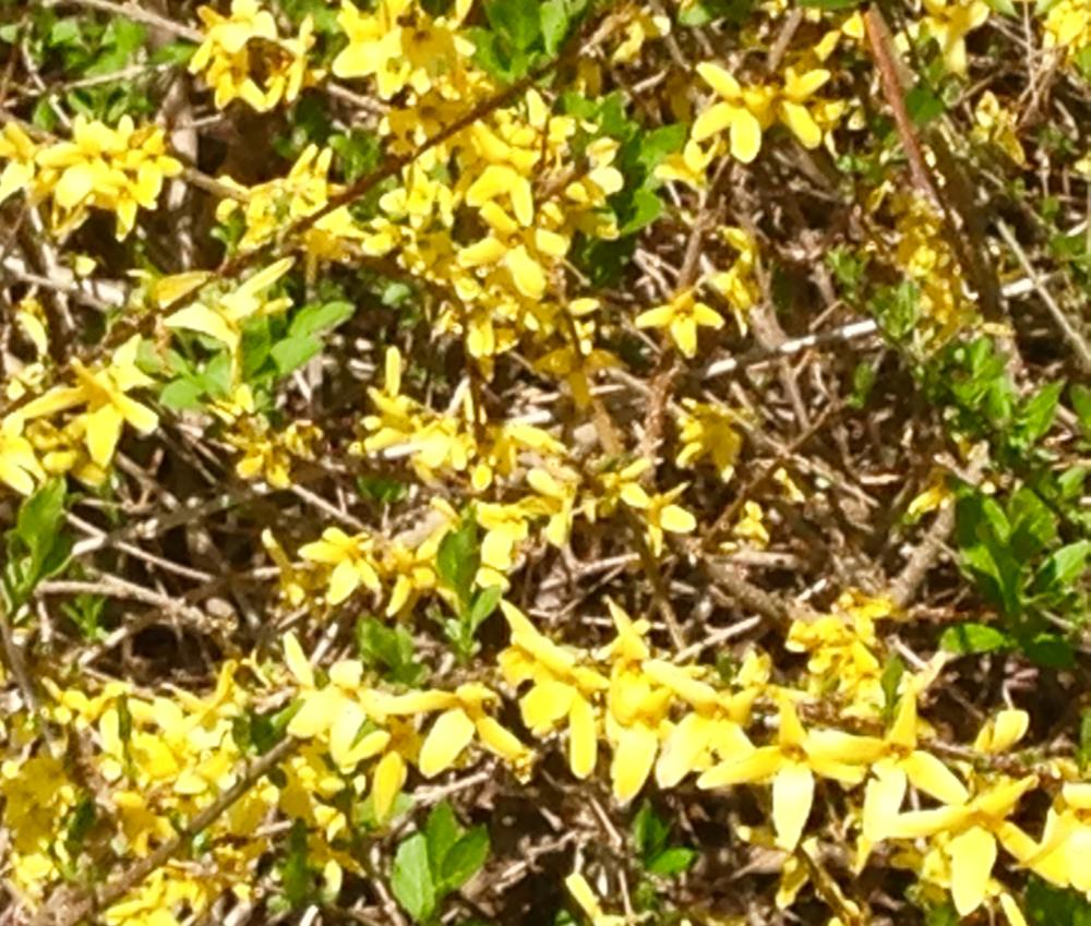 Close-up of Forsythia
