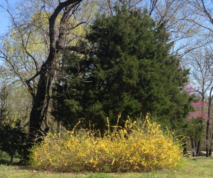 Forsythia in Landscape