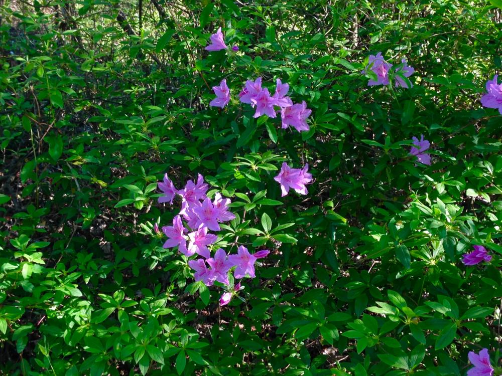 Spring - Rhododendron