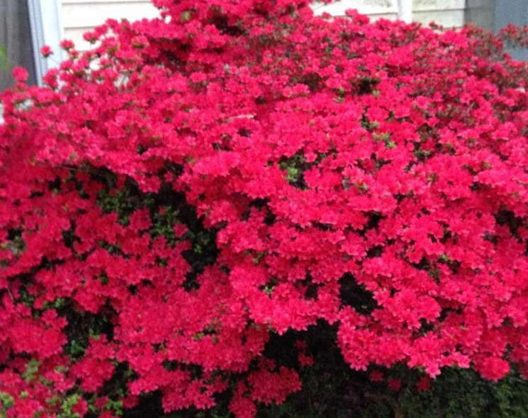 Spring - Azalea in Full Bloom