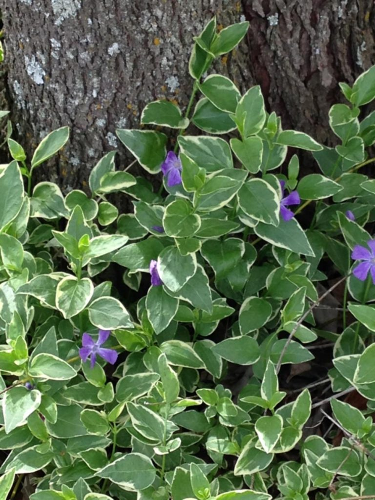 Spring - Vinca Major Variagated