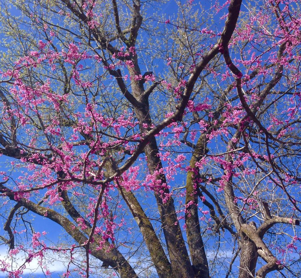 Redbud and Sweetgum trees