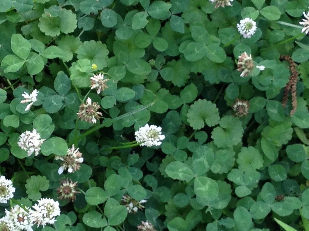 White Clover - groundcover
