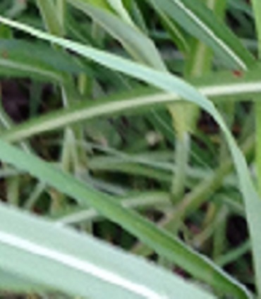 Johnsongrass, stem close-up