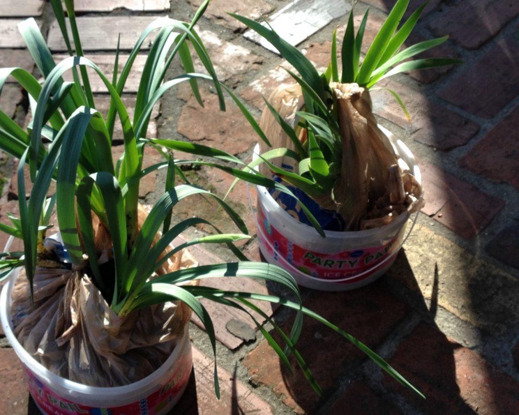 Buttercups & Iris