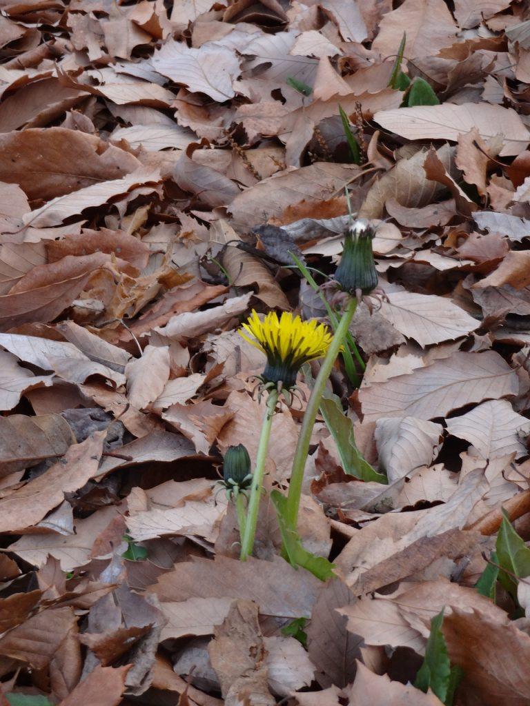 Dandelion Dead Leaves Winter