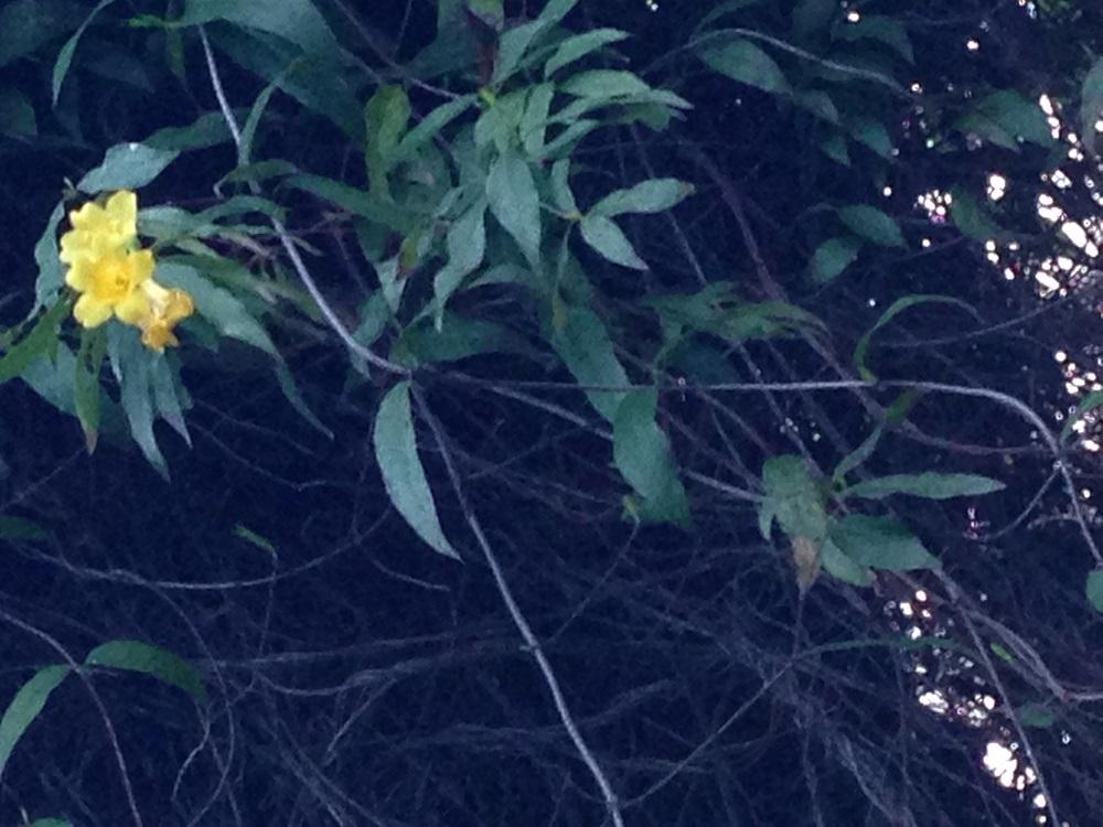 Flower - Carolina Jasmine
