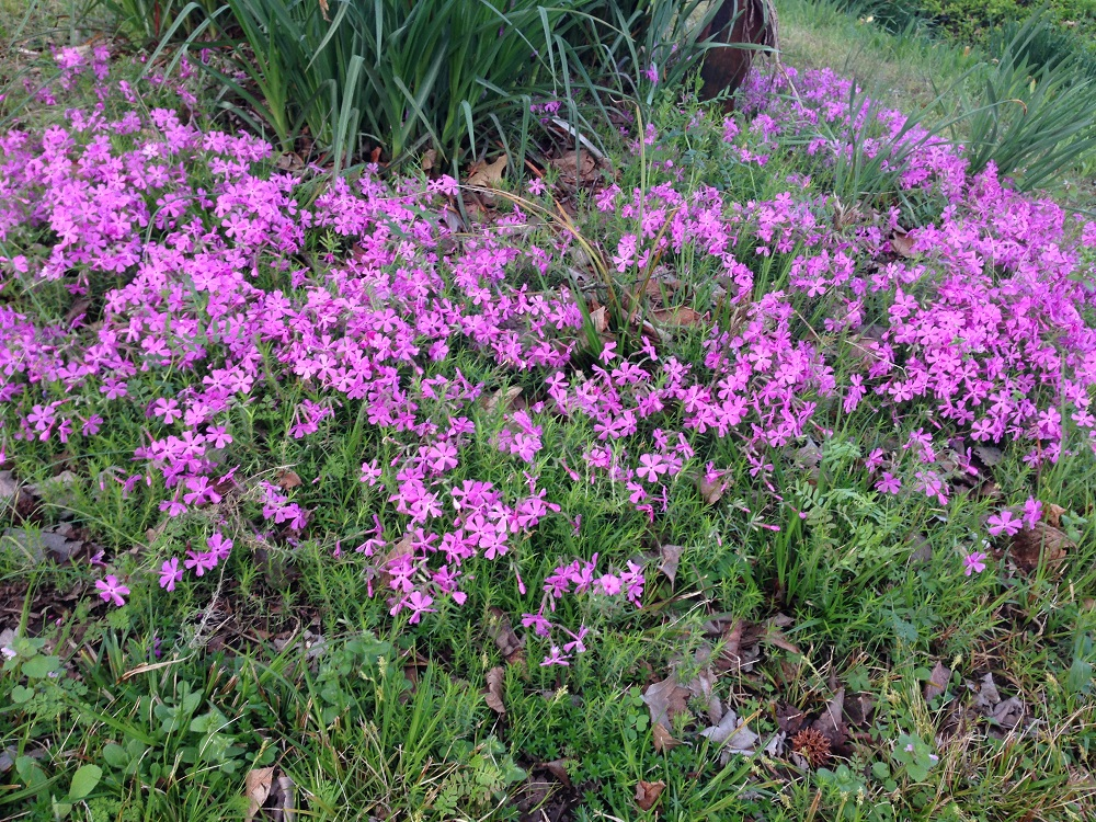 Flowers - Creeping Phlox
