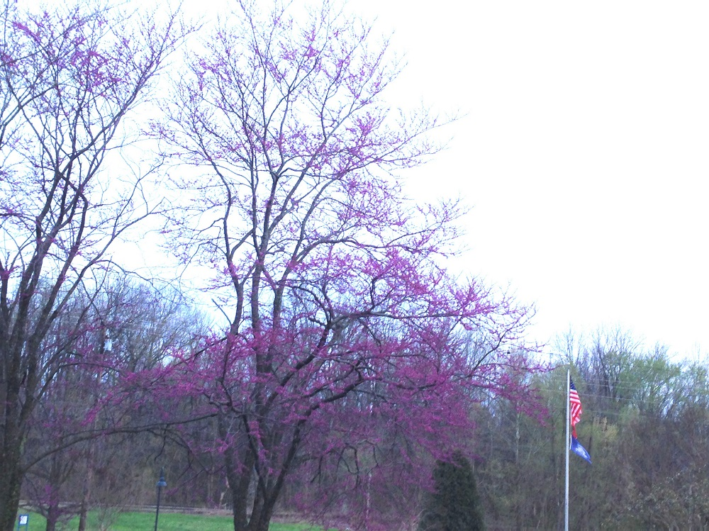 Flowers of Redbud Trees and Flags